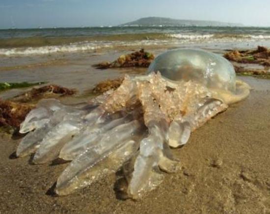 Hình dáng khổng lồ của chú sứa. (Ảnh: Internet)