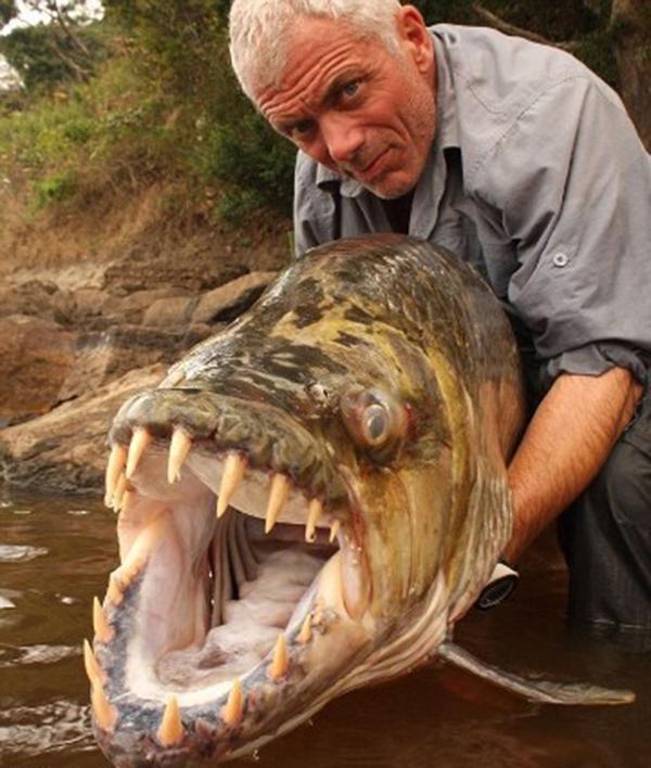Cận cảnh hàm răng sắc béncủa cá Piranha. (Ảnh: Internet)