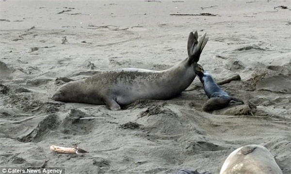 Tận mục khoảnh khắc hải cẩu sinh con kịch tính