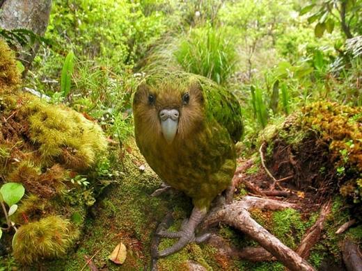 Vẹt Kakapo/Vẹt cú: đây là giống vẹt béo nhất thế giới và cũng là loài vẹt duy nhất không biết bay. Có nguồn gốc từ New Zealand, loài vẹt này hiện đang có nguy cơ tuyệt chủng vì bị thú vật săn bắt, hiện chỉ còn 128 con sống trên những hòn đảo không có thú ăn thịt. (Ảnh: Internet)