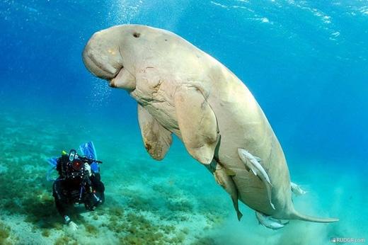 Cá cúi/Bò biển/Cá nàng tiên: loài vật này sống ở vùng biển Thái Bình Dương và bờ biển phía đông châu Phi. Từ lâu loài cá khổng lồ này đã bị săn bắt lấy thịt và mỡ, khiến chúng đứng trên bờ vực tuyệt chủng. (Ảnh: Internet)
