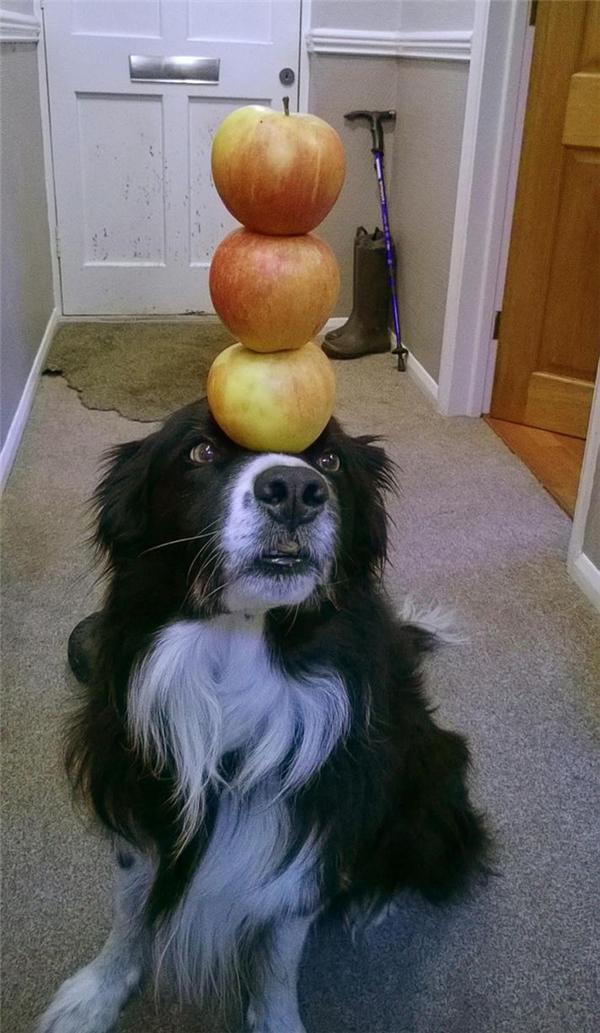 Chú chó này có thể đặt trên đầu mình ba quả táo thẳng đứng. (Ảnh: Internet)