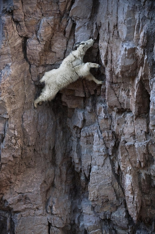 LoàiDê Alpine Ibex được các nhà khoa học đánh giá có khả năng thăng bằng siêu đỉnh. (Ảnh: Internet)