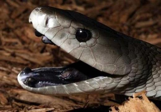 """Rắn Mamba đen được ví là """"nỗi khiếp sợ của hành tinh"""". Với chiếc miệng đen cùng cơ thể nhanh thoăn thoắt và nhất là nọc cực độc, nó sẽ tiếp cận và kết liễu mục tiêu gần như lập lức. Loài động vật này chủ yếu sống tại sa mạc Sahara của châu Phi. (Ảnh: Internet)"""