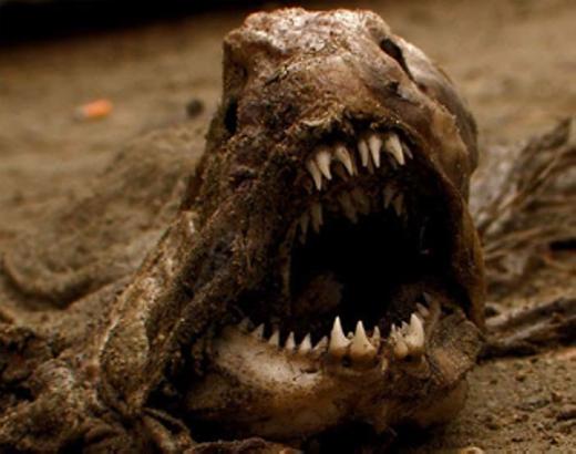 Cá sói (Wolf Fish) đặc trưng bởi hàmrăng sắc nhọn để săn con mồi cùng ngoại hình không khác gì ác quỷ trong các bộ phim giả tưởng. Được biết, loài này có chiều dài lên đến 2,5m, sống chủ yếu tại các dải đá ngầm ở những vùng nước lạnh của Đại Tây Dương và Thái Bình Dương. (Ảnh: Internet)