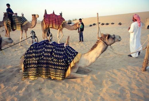 """Để làm cho chú lạc đà này """"đứng"""" được trên lưng chú lạc đà khác là rất khó đấy! (Ảnh: Internet)"""