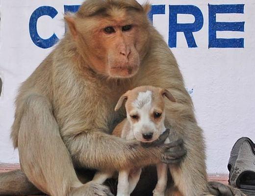 Tình mẫu tử kì lạ giữa chó và khỉ. (Ảnh: Internet)