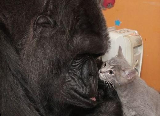 Chú khỉ Koko bên mèo con. (Ảnh: Internet)