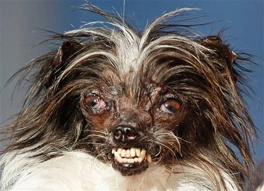 Chú chó gây ấn tượng với bộ lông trắng pha nâu bù xù cùng cặp mắt lồi, răng vừa hô vừa móm lộ hết cả ra. (Ảnh: George Nikitin)