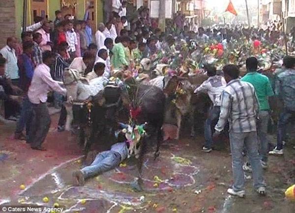Những chú bò được trang trí đầy màu sắc trước khi thực hiện nghi lễ.