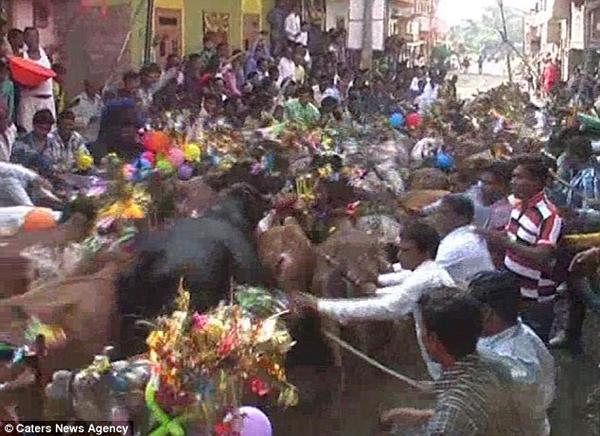 """Những người đứng xem đang cố gắng lùa những con bò dẫm vào """"đúng chỗ""""."""