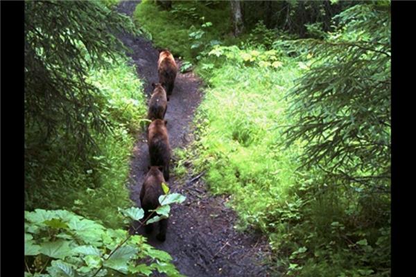 Một đàn gấu nối đuôi nhau đi kiếm mồi.(Ảnh: Internet)