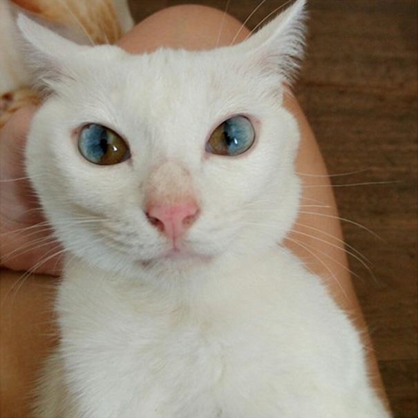 Chú mèo trắng có đôi mắt chứa cả vũ trụ. (Ảnh: Bored Panda)