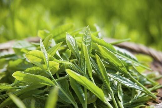 Trà xanh được trồng rất nhiều ở Tây Bắc và Tây Nguyên. (Ảnh: Internet)