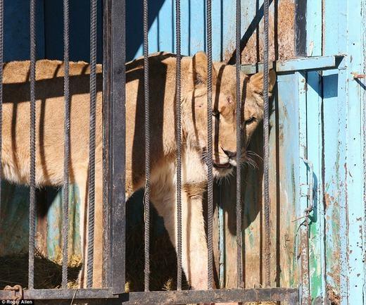 Một chú sư tử buồn bã trong chuồng. (Ảnh: Roger Allen)