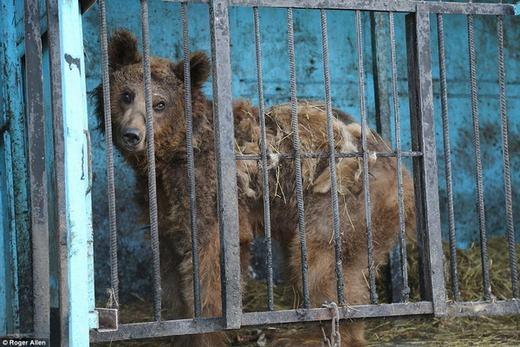 """Những chú gấu """"tàn tạ"""" do bị giam cầm lâu ngày. (Ảnh: Roger Allen)"""