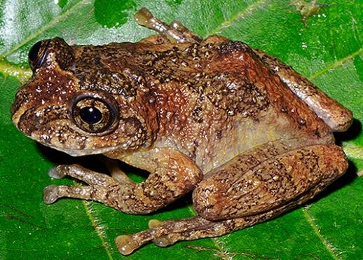 """Kì lạ loài ếch """"hồi sinh"""" sau gần 140 năm """"mất tích"""""""