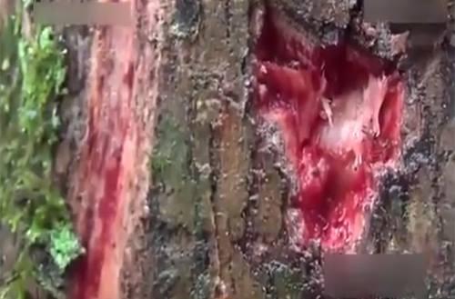 Sốc: Xuất hiện gốc cây chảy máu khi bị cắt rời