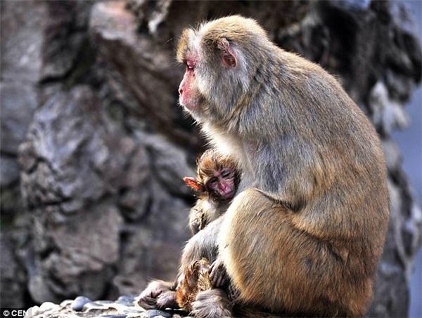 Hình ảnh xúc động đó diễn ra tại vườn bách thú thành phố Phúc Châu, tỉnh Phúc Kiến, Trung Quốc. Theo đó, một chú khỉ con mới sinh được vài ngày bất ngờ chết mà không rõ nguyên nhân. Lúc này, khỉ mẹ bị sốc quá nặng nên kiên quyết không cho bất cứ ai động vào con mình. Ảnh: Internet