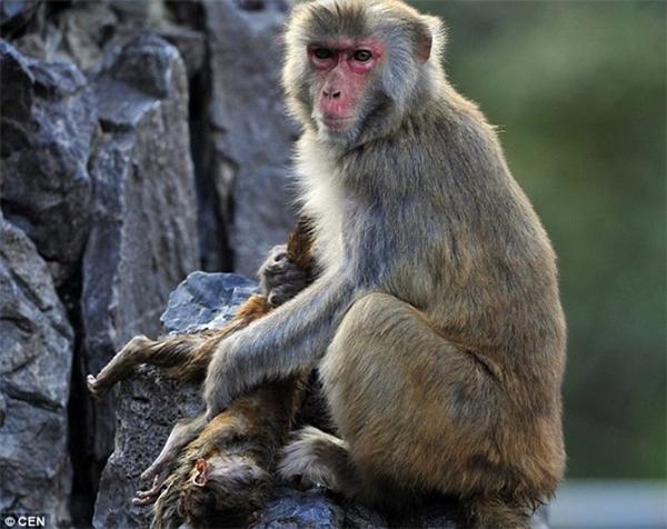 Sự việc chỉ được phát hiện khi khách du lịch thông báo cho nhân viên vườn thú biết. Sau đó, các nhân viên vườn thú định lại gần con khỉ con, ngay lập tức khỉ mẹ đã nhe răng, trợn mắt hù dọa không cho ai tiếp cận. Nhiều người khi chứng kiến hình ảnh cảm động này đã không khỏi nghẹn ngào, nhói lòng. Ảnh: Internet