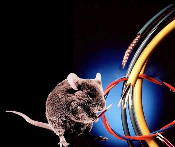 Chuột có thể cắn đứt dây điện. (Ảnh: Internet)