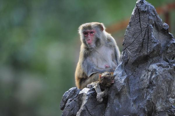 Một số người cho rằng, khỉ con chết là do bị một con khỉ già bắt nạt. Tuy nhiên, nhân viên vườn thú nhận định khả năng này là rất thấp, vì khỉ mẹ sẽ tự biết cách bảo vệ các con của mình khỏi mối nguy hiểm. Ngoài ra, nhiều người cũng đưa ra ý kiến khác là do du khách cho khỉ con đồ ăn, khiến cơthể non nớt của chú không kịp thích ứng và gặp vấn đề về đường tiêu hoá, dẫn tới tử vong. Ảnh: Internet