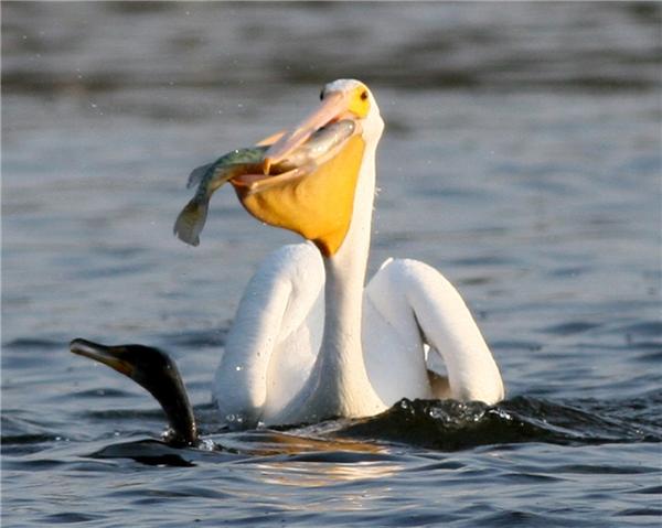 """Một chú cá đáng thương sắp bị """"xơi tái"""". (Ảnh: Internet)"""