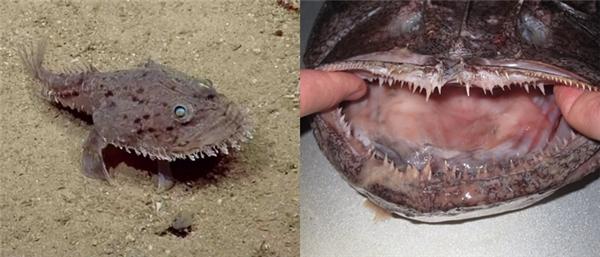 Hình dáng và cấu tạo bộ hàm của cá thầy tu. (Ảnh: Internet)