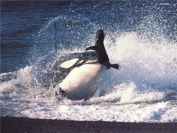 Cá voi sát thủ săn mồi. (Ảnh: Internet)