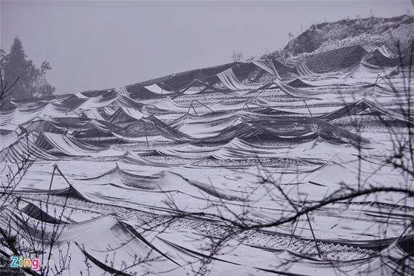 Nhiều vườn rau, củ quả của người dân chịu ảnh hưởng nặng nề. Cánh đồng ươm giống rau tại xã Lao Chải bị vùi trong tuyết dù đã được che bạt.