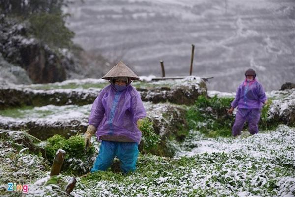 Người dân tại xã Lao Chải, tổ 7 A (thị trấn Sa Pa) đang đi cắt rau để đem ra chợ bán, sở dĩ họ phải cắt sớm vì nếu ngày mai tuyết rơi dày, toàn bộ số rau này sẽ bị bầm dập, hư hỏng hoàn toàn.
