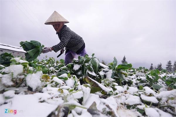 Bà Đào Thị Bình (tổ 7A, thị trấn Sa Pa) có 1 ha hoa màu, tất cả không tránh khỏi diễn biến xấu của thời tiết. 'Tôi phải tranh thủ đi cắt rau mang ra chợ bán, chứ để thêm ngày nữa là hỏng hết', bà nói.