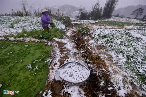 Những chiếc quang gánh được đem đi để vận chuyển rau cũng biến thành màu trắng. Hầu hết các khu vực trồng rau nằm sát các sườn đồi, hứng mưa gió nên tuyết rơi càng nhiều.
