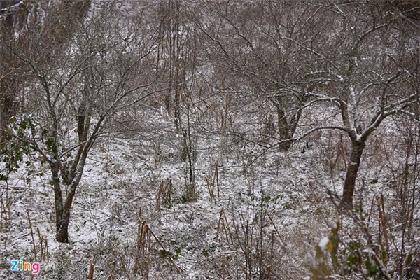 Không chỉ có rau, củ quả bị hư hỏng, nhiều gốc đào lâu năm cũng bị tuyết vùi lấp. Mưa tuyết làm bầm dập hết hoa nụ của hàng loạt cây đào.