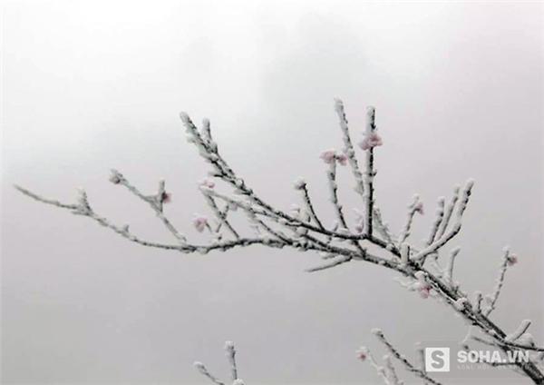 """Những cánh hoa đào """"đóng băng"""" trong tuyết. (Ảnh: Bằng Trần)."""