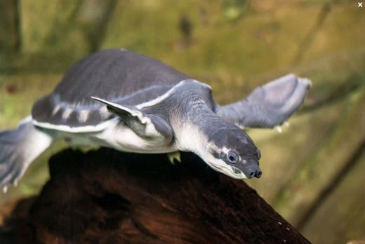 Hình ảnh của Arvinachelys goldeni, một loài rùa mũi lợn đang rất thịnh hành trong giới sinh vật cảnh hiện nay. (Ảnh: Internet)