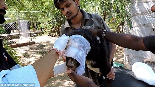 Các nhân viên diệt đámdòi và lau rửa vết thương cho chú chó đáng thương. (Ảnh: Internet)
