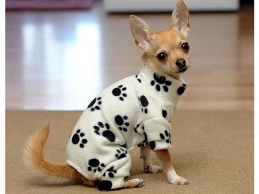 Những giống chó như Chihuahua, Phốc, Chó săn thỏ... cần phải giữ ấm kĩ càng hơn.(Ảnh: Internet)