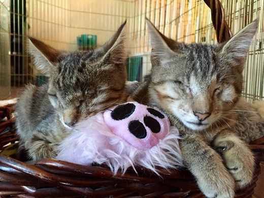 Hai bé mèo nay đã lớn phổng phao hơn hẳn. (Ảnh: Internet)