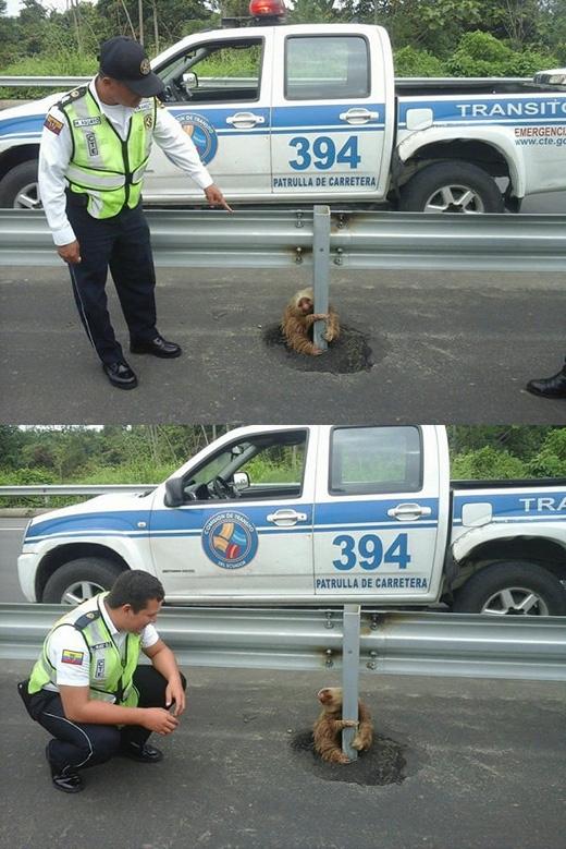Cảnh sátEcuador phát hiện một chú lười đang ngồi giữa đường. (Ảnh:Cảnh sát Giao thôngEcuador)