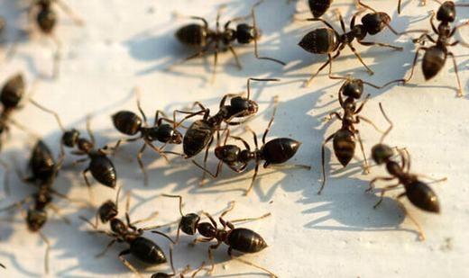 Trường hợp kiến nằm trong tai khá hiếm gặp. (Ảnh: Internet)