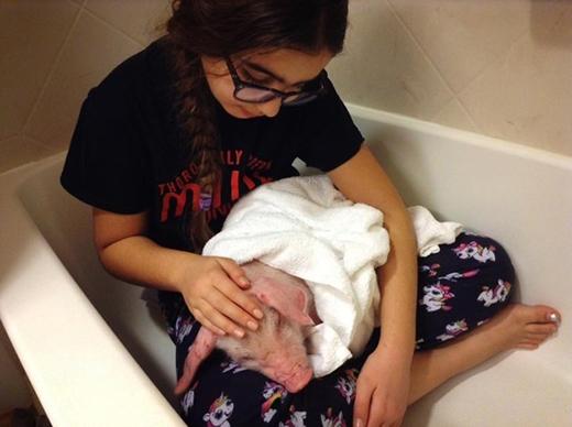 Về đến phòng, các thành viên trong nhà để chú vào bồn tắm rồi thay viên nhau chăm sóc. Trong khi đó,chú lợn vẫn không ngừng run rẩy suốt đêm. Smith phát hiện sau tai chú đã bị hoại tử vì tê cóng, đồng thời còn bị xây xát và bầm tím.(Ảnh: Internet)