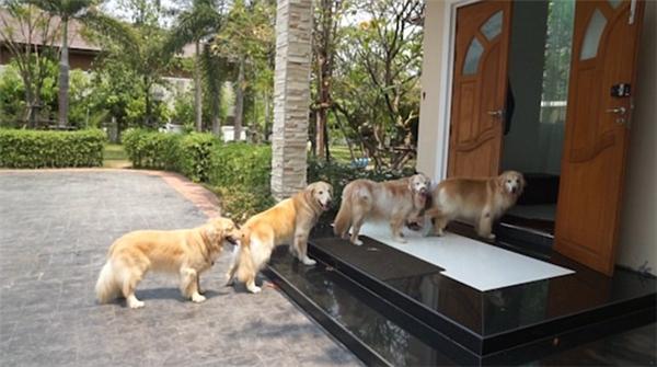 Một phụ nữ Thái Lan đã huấn luyện 4 chú chó của mình một cách tài tình khi tập được cho các chú thói quen xếp hàng một chờ lau chân cho sạch trước khi vào nhà. Điều đáng nói là không chú nào chen lấn hay gây náo loạn.
