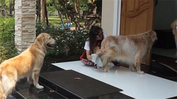 Những chú chó phải xếp hàng một, không được chen lấn hay làm loạn, để chờ được lau chân sạch sẽ.