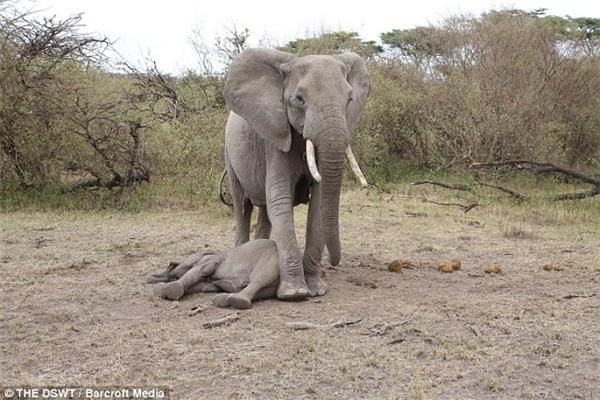 """Bật khóc trước cảnh voi mẹ lay voi con """"đã chết"""" tỉnh dậy"""