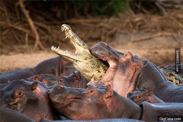 Ảnh một đàn hà mã đang ngấu nghiến con cá sấu đáng thương. (Ảnh: Internet)