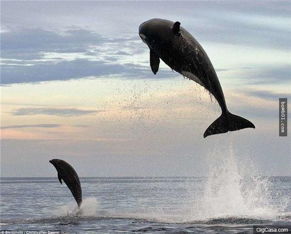 Cá voi sát thủ nhảy lên khỏi mặt nước. (Ảnh: Internet)