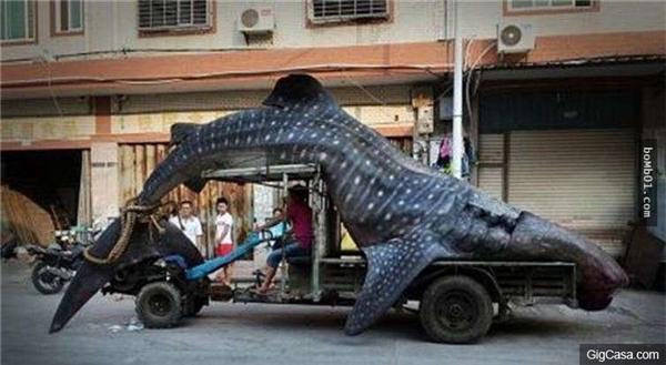 Cá mập voi là loài động vật quýhiếm. (Ảnh: Internet)