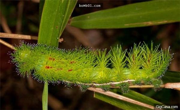 Sâu bướm Nam Mỹ có độc tố gây tử vong. (Ảnh: Internet)