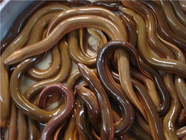Lươnchứa nhiều trùng Gnathostoma. (Ảnh: Internet)